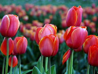 Tulips | by jodi_tripp