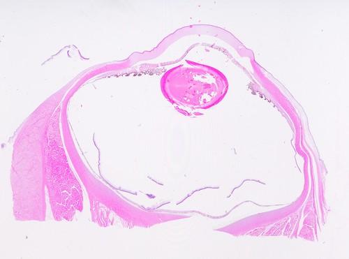 foto 22a sezione dell'occhio al microscopio 400 x