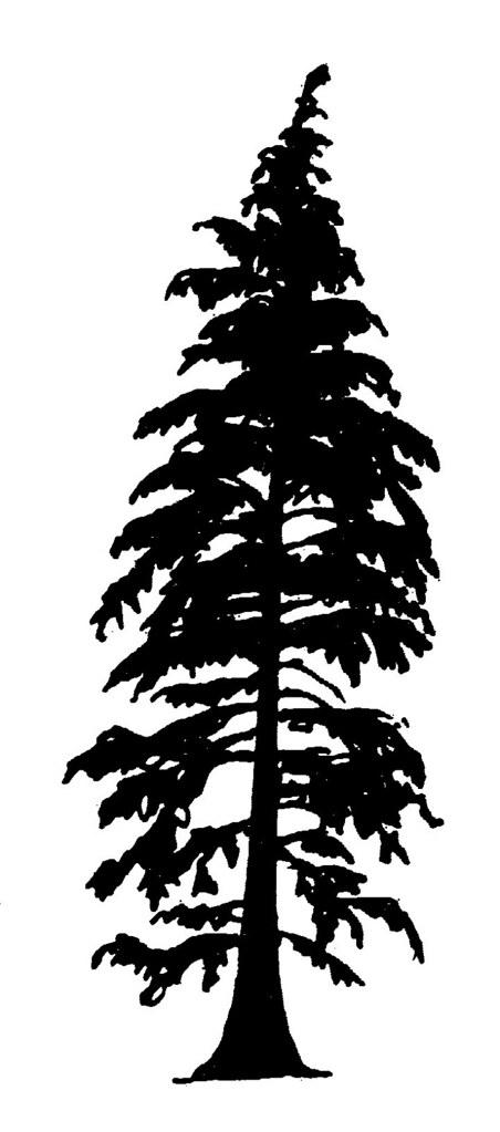 western hemlock - silhouette