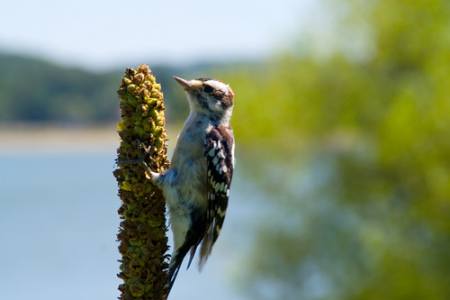 Woodpecker | by Brian Auer