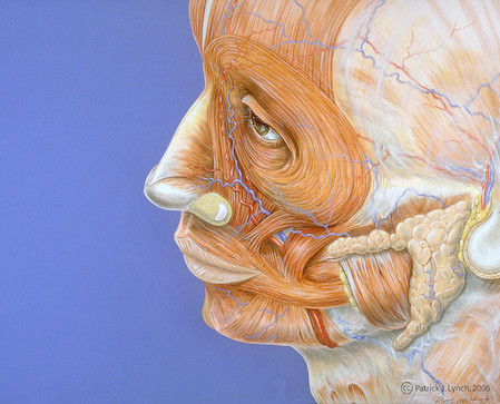 Human face anatomy | by Patrick J. Lynch