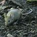 Mouse - Brian Gratwicke