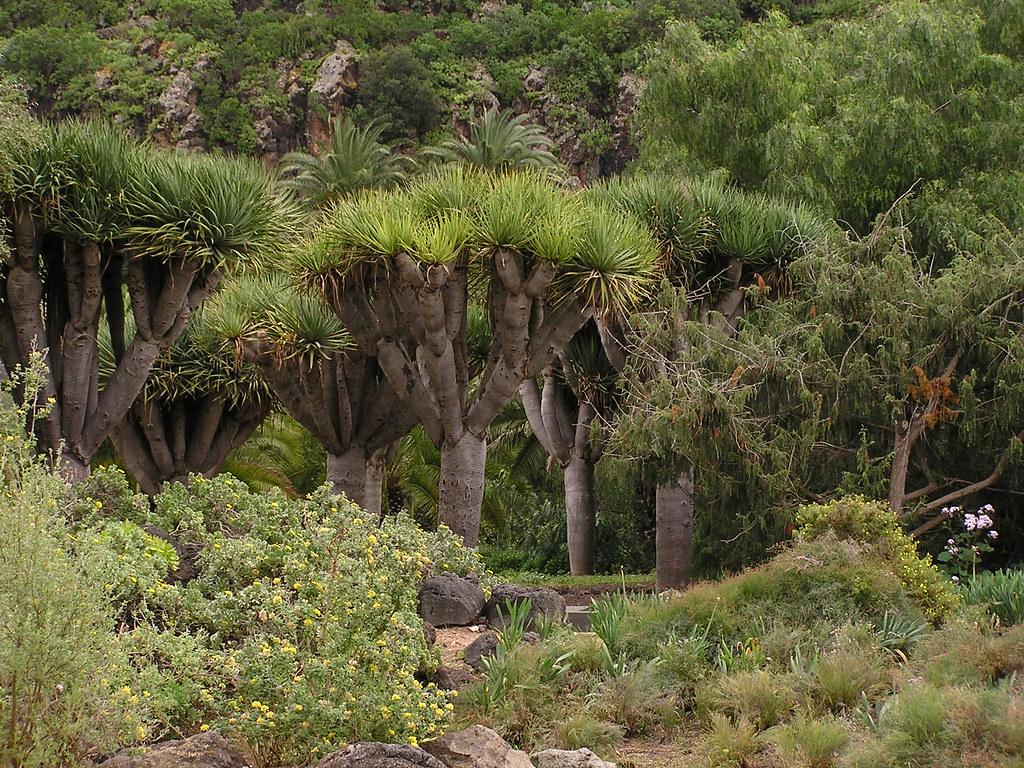 Dragos arboles jardin canario gran canaria islas canarias for Jardin canario