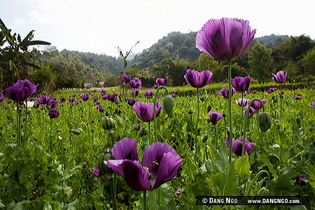 Xieng khuang province laos opium poppy flowers and seed flickr xieng khuang province laos opium poppy flowers and seed pods dot a hillside mightylinksfo