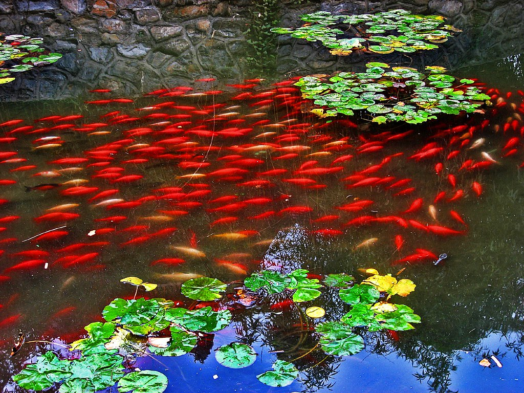 Red fish in a pond this image is intriguing the fish for Ponds 4 fish