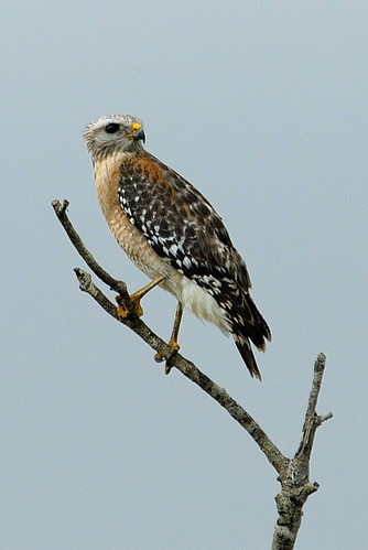 Red-shouldered Hawk | by Beakspeak