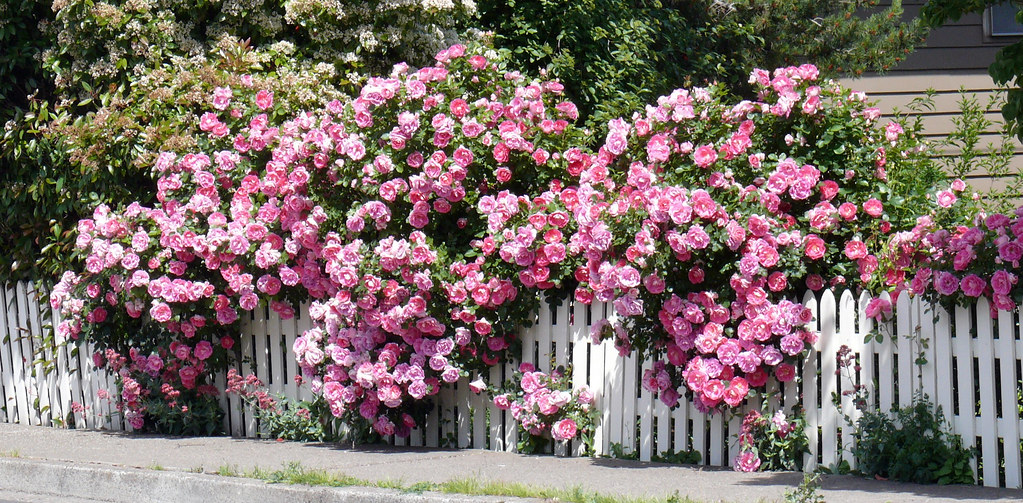 White picket fence with roses on may street in hood river flickr white picket fence with roses by glenn harris clintriter mightylinksfo