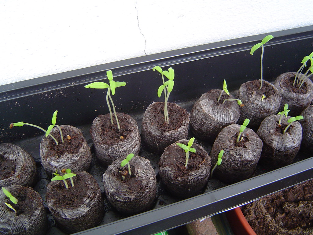 tomato seedlings just put these on the balcony with cover flickr. Black Bedroom Furniture Sets. Home Design Ideas