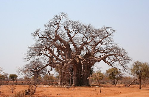 Baobab tree | by ironmanixs