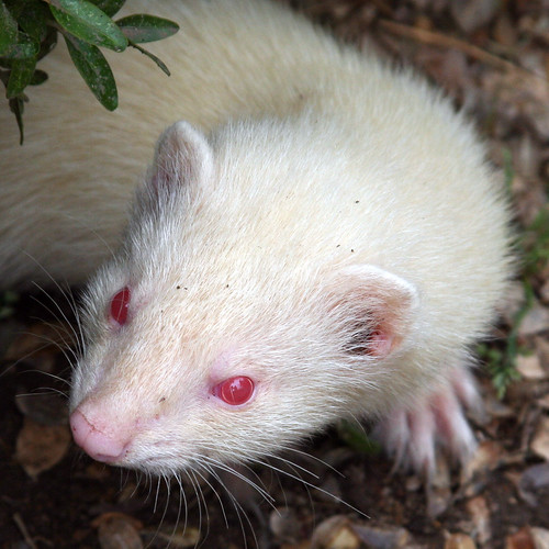 Red eye and I wasn't using a flash! | Young albino ferret ...