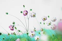 Cosmos | by hiromama