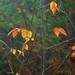 Seven Oaks Road, orange leaves, Bailieboro, ON