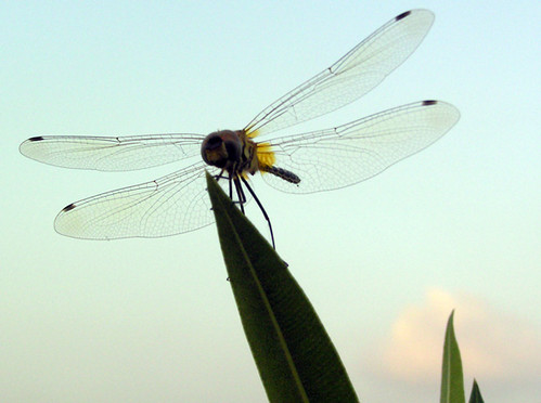 Dragonfly | by Divs Sejpal