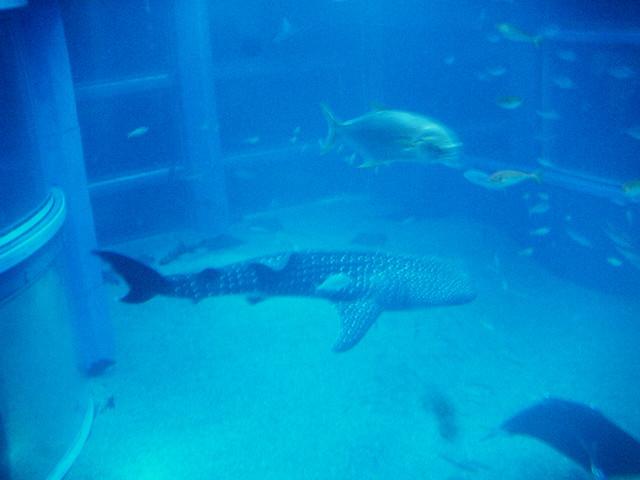 osaka aquarium whale shark chris f flickr