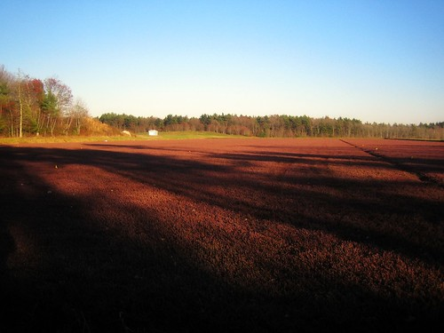 Cranberries are Ripening | by Lady-bug