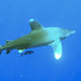 Oceanic Whitetip Shark (Carcharhinus longimanus, Red Sea)