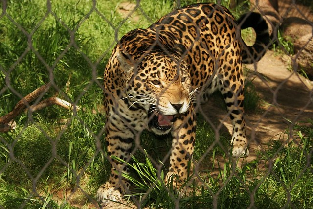Jaguar's Roar   This beast Roared at me at the Fort Worth ...