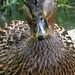 Sweet-faced  duck
