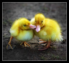 Ducky Love  [104/365] | by Lab2112