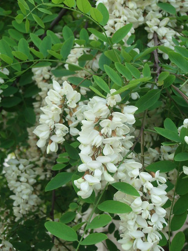 More black locust flowers | by access.denied