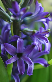 Hyacinth Blue | by **Mary**