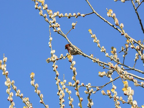 "Little Bird in our Pussy Willow | by Kristin ""Shoe"" Shoemaker"