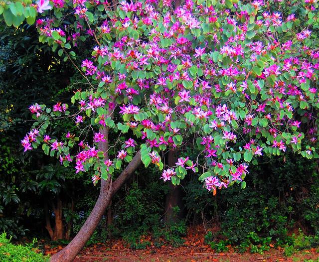 Баухиния - Bauhinia: фото, условия выращивания, уход и ...