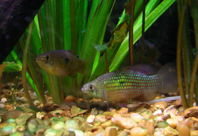 Florida flag fish these guys are really pretty native for Fish native to florida