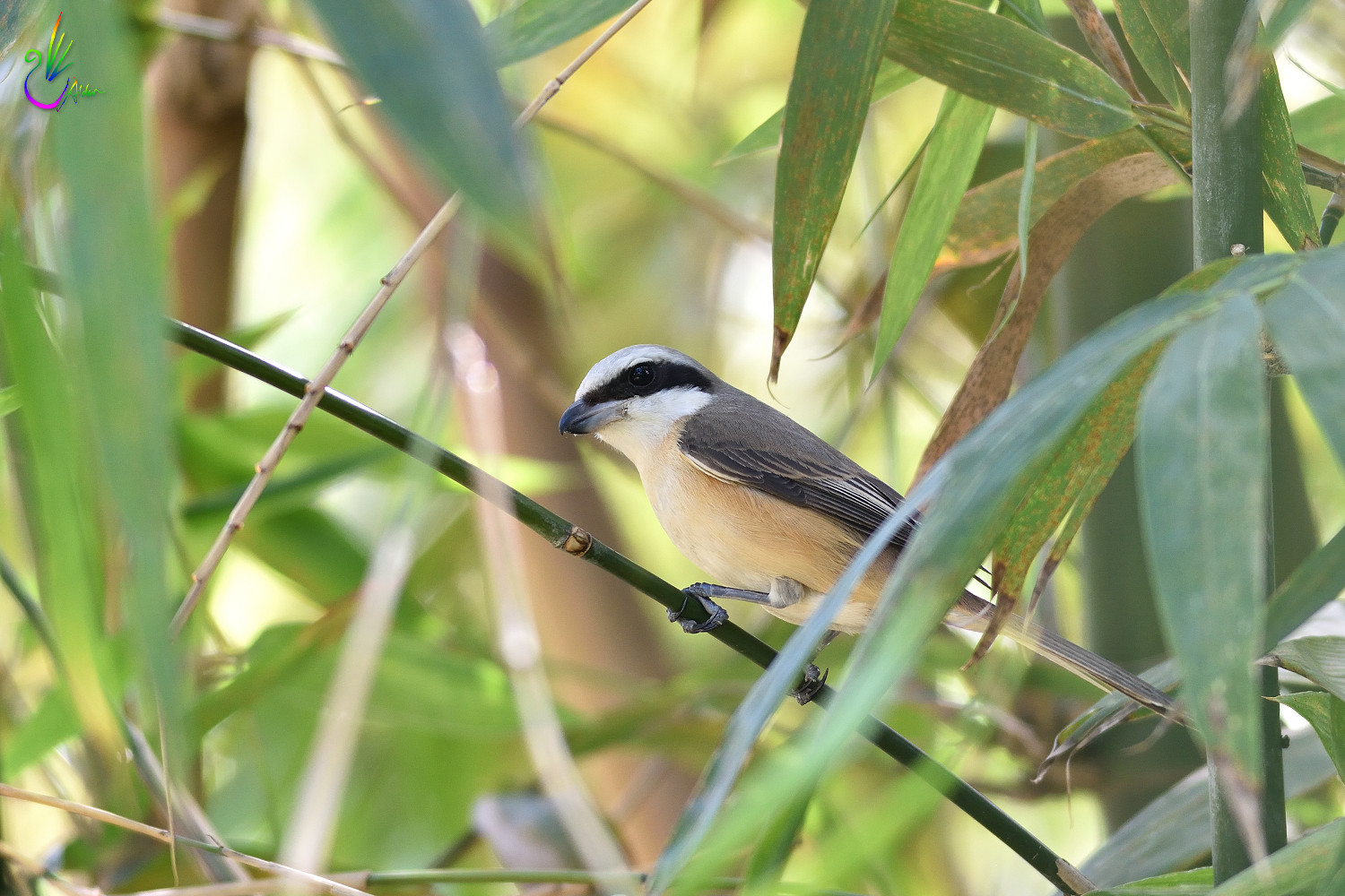 Brown_Shrike_0038