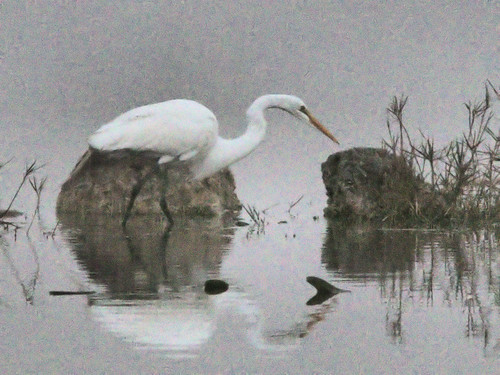 Great Egret in fog before sunrise 06-20170206