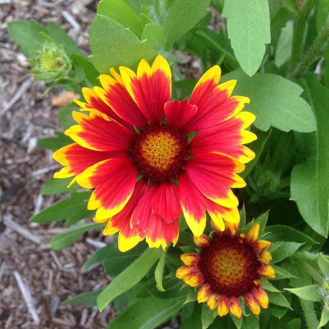 Blanket flower is blooming. Trying to focus on the positive after coming home and finding two more perennials mowed to the ground by the woodchuck. I'll be moving plants around this fall, for sure.