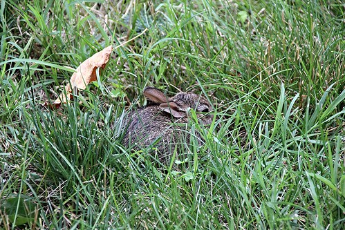 IMG_5646_Baby_Bunny