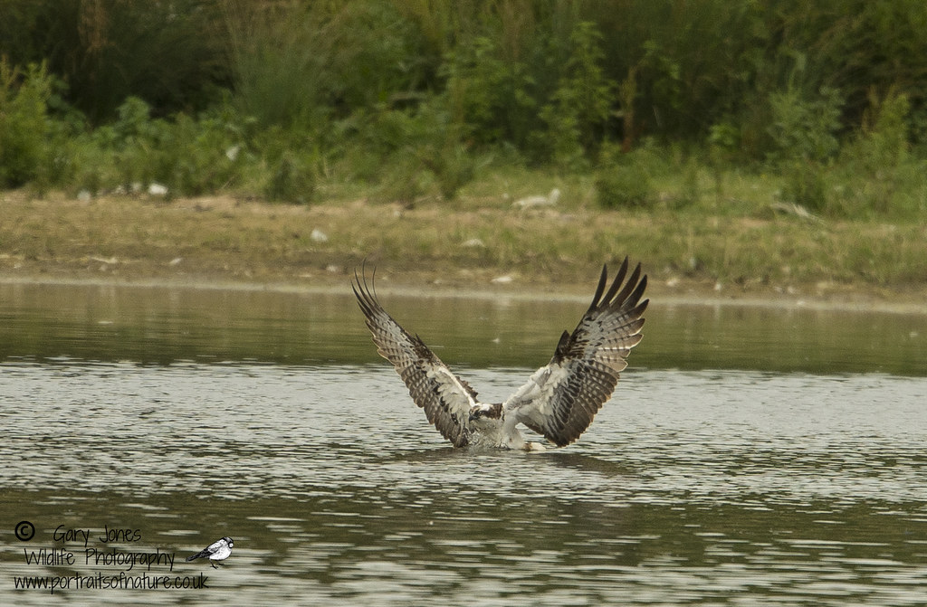 Manton Bay female having a wash after feeding the chicks