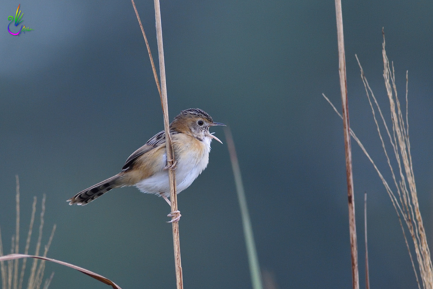 Golden-headed_Cisticola_7734