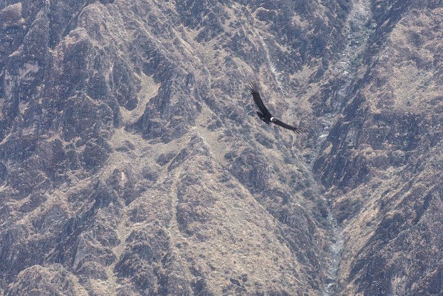 Condor over the Colca canyon