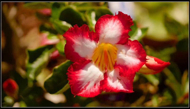 沙漠玫瑰-P1120799 (1)