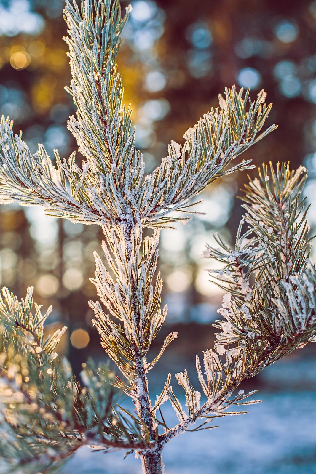 Frostig tall - Evelinas Ekologiska