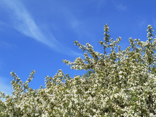 Marjaomenapensaan (Malus toringo var. sargentii) kukintaa untuvapilvien kera 12.6.2015 Meilahden arboretum Helsinki