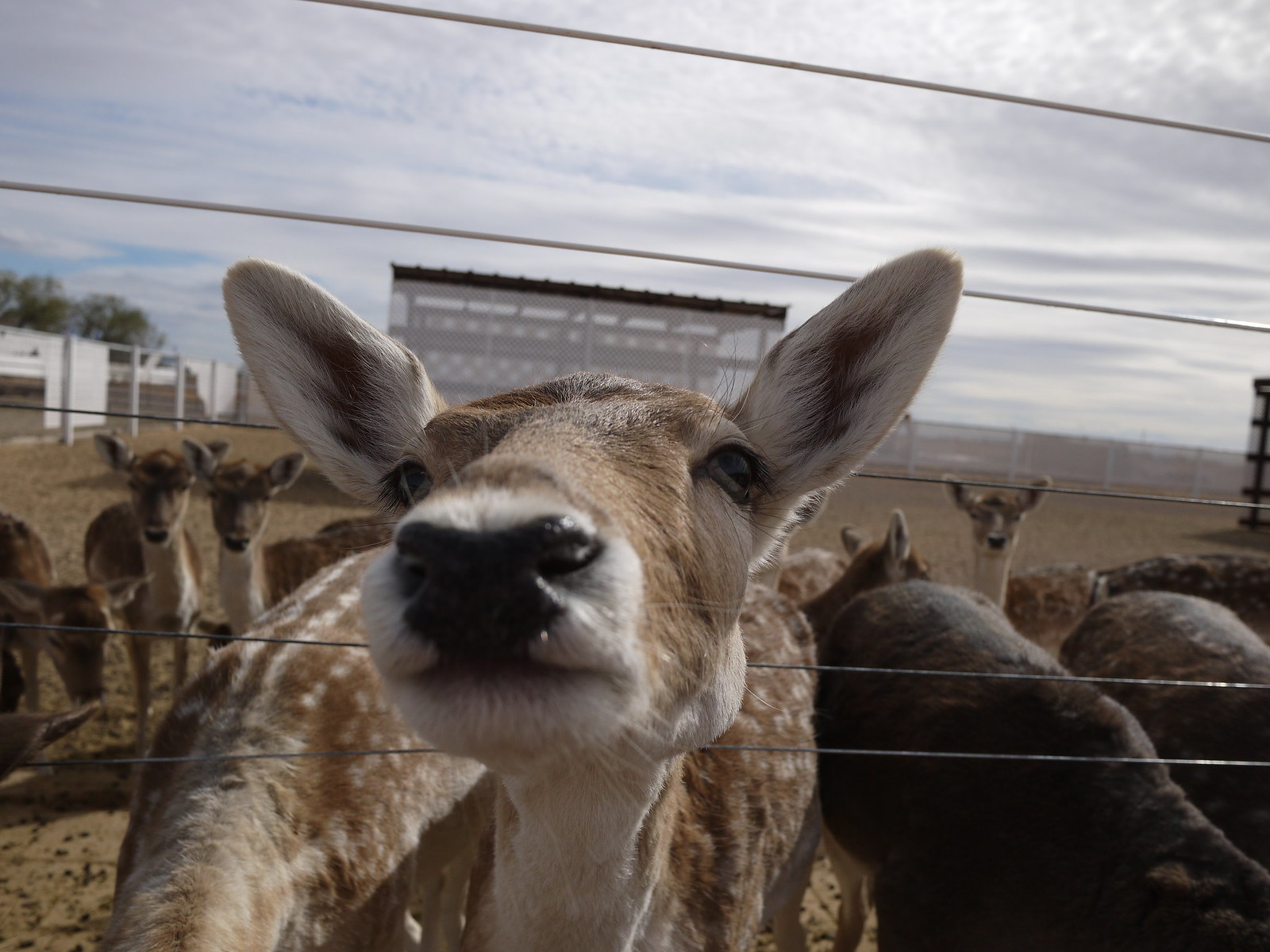 PIC: Rooster Cogburn Ostrich Ranch - Close Up of a Fallow Deer