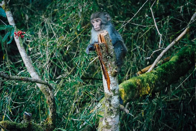 猴子出沒|玉山 塔塔加