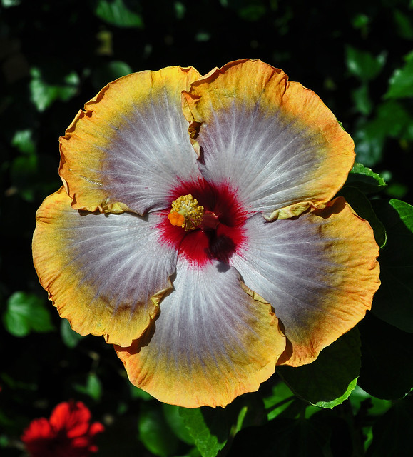Longwood Hibiscus 'Fifth Dimension'