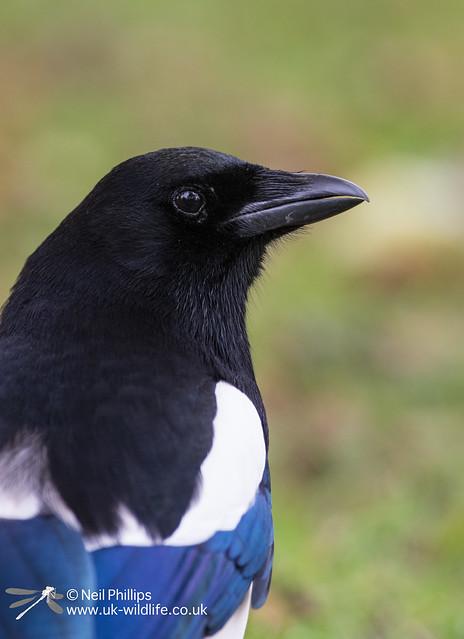 55 magpie