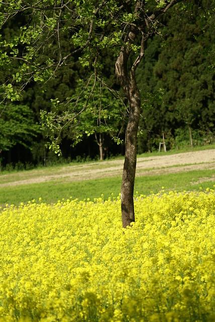 八海醸造 菜の花畑_201505_NO4