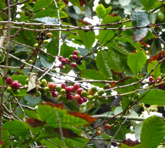 Coffea stenophylla 19223325252_dcf9d02049_o