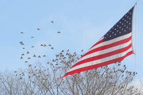 Bohemian Waxwings Marquette Mi Flag In Front Of City