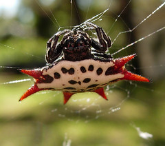 Crab-Like Spiny Orbweaver | by Sean McCann (ibycter.com)