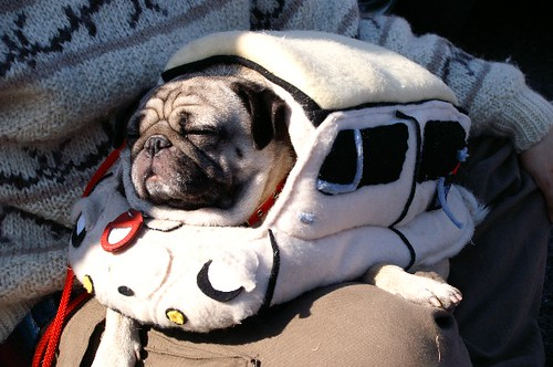 Pug Dressed up Pug Dressed up as a Subaru