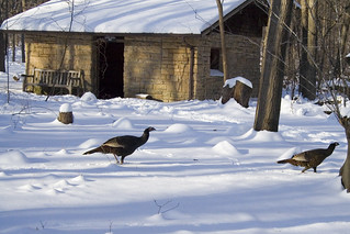 Wild turkeys at the Arboretum | by derPlau