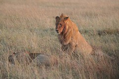 maasai mara: lion dealing with rejection | by valvie