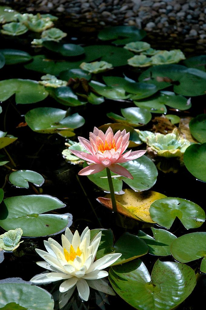 Japanese Garden, Hillwood, Washington Dc